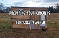 Preparing your chickens for cold weather